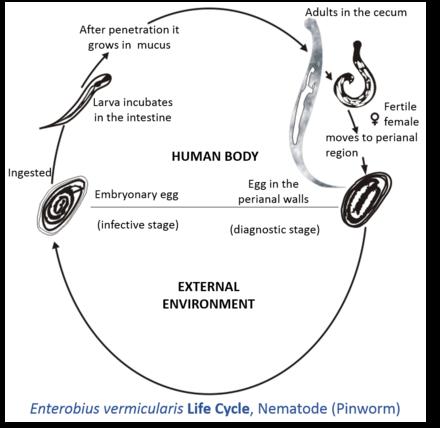 Pinworm Parasite Wikiwand