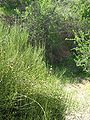 Ephedra chilensis.jpg