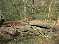 Epping Forest, log pile with fungi - geograph.org.uk - 1213160.jpg