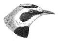 Eremophila alpestris longirostris J. Scully.jpg