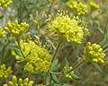 Eriogonum umbellatum var subaridum 3.jpg