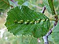 Eriophyes inangulis (Eriophyidae) - (gall), Elst (Gld), the Netherlands.jpg