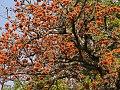 Erythrina latissima06.jpg