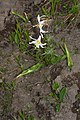 Erythronium montanum 1280.JPG