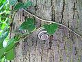 Escargot sur un arbre.JPG