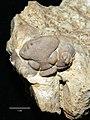 Estonian Museum of Natural History Specimen No 171157 photo (g1 g1-142 jpg).jpg
