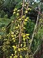 Eucalyptus camaldulensis 04.JPG