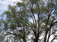 Eucalyptus macarthurii Bowral
