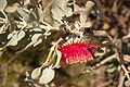 Eucalyptus macrocarpa x pyriformis KP gnangarra-11.jpg