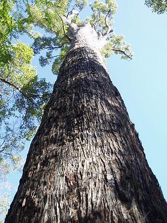 Jarrah Forest - Eucalyptus marginata