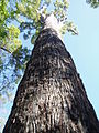 Eucalyptus marginata 2.jpg