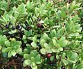 Euclea racemosa - Sea Guarrie Tree - berries 1.JPG
