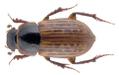 Euheptaulacus atlantis (Peyerimhoff, 1925).png