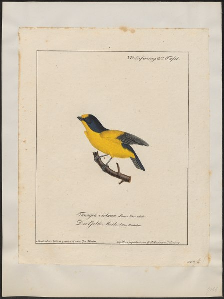 File:Euphonia violacea - 1700-1880 - Print - Iconographia Zoologica - Special Collections University of Amsterdam - UBA01 IZ15900423.tif