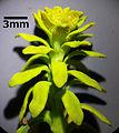 Euphorbia cyparissias sl3.jpg