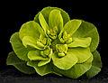 Euphorbia helioscopia, U, front, Maryland, Beltsville 2013-03-14-14.15.24 ZS PMax (8565921392).jpg
