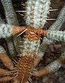 Euphorbia mammillaris f. variegata 2016-05-20 1046 (cropped).jpg