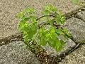 Euphorbia peplus (7914482174).jpg