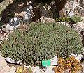 Euphorbia resinifera2 ies.jpg