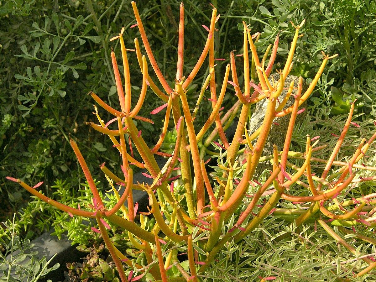 Euphorbia tirucalli 'Sticks on Fire' Plant 3264px.jpg