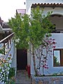 Euphorbia tirucalli 001.JPG