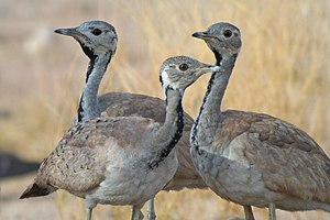 Eupodotis - A group of Rüppell's bustards