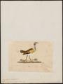 Eupodotis senegalensis - 1820-1860 - Print - Iconographia Zoologica - Special Collections University of Amsterdam - UBA01 IZ17200051.tif