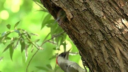 File:European green woodpecker (Picus viridis) in Slovakia.webm