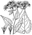 Eurybia divaricata BB-1913-1.png