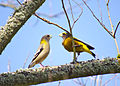 Evening grosbeak pair reesman odfw (15432741907).jpg