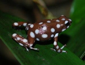 Eastern Cordillera Real montane forests - Marañón poison frog (Excidobates mysteriosus)