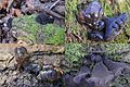 Exidia truncata, Syn Exidia Glandulosa (GB= Black Witches Butter, Syn. Black Jelly Roll, D= Stoppeliger Drüsling, F= Exidie tronquée, NL= Eikentrilzwam) white spores and causes white rot, at Deelerwoud - panoramio.jpg