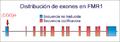 FMR1-Struktur1.png