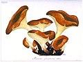 Fabre 163 Pleurotus phosphoreus Omphalotus illudens.jpg