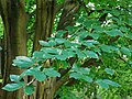 Fagus orientalis-dkrb(2).jpg
