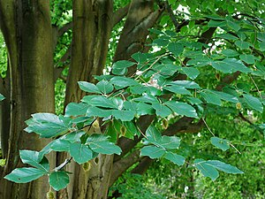 Fagus orientalis - Oriental beech foliage, fruits and trunk.