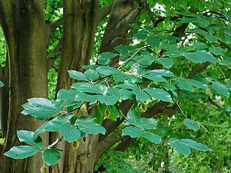 Fagus orientalis - Oriental beech foliage, fruits and trunk.