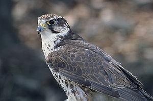 Saker falcon - Image: Falco cherrug (Marek Szczepanek)