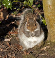 Fat Squirrel 1 (4245425374).jpg
