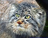 Captive Pallas's cat