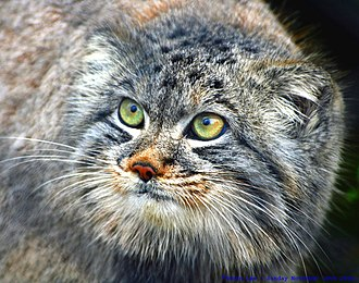 The ears are set low and wide apart Felis manul -Howletts Wild Animal Park -8.jpg