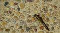 Female Wandering Percher rump (16654906093).jpg