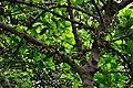 Fig - Howrah 2011-05-10 3406.JPG