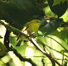 Fiji Whiteeye deVoeux jun08.JPG