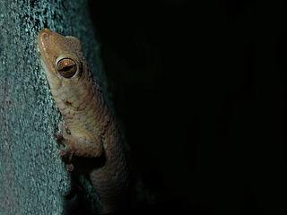 <i>Geckolepis</i> Genus of lizards