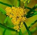 Flat-topped Goldenrod (Euthamia graminifolia) (42255732824).jpg