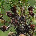 Flats Conebush (Leucadendron floridum) old cones ... (32587627840).jpg