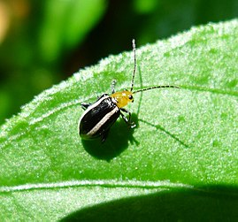 Flea beetle (Galerucinae, Alticini) - Flickr - gailhampshire.jpg