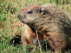 A groundhog, also known as a woodchuck.