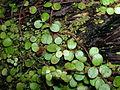 Flickr - brewbooks - Waipoua Forest (40).jpg